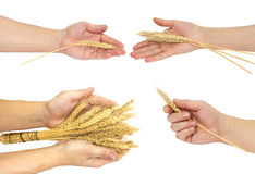 Arm of wheat Royalty Free Stock Image