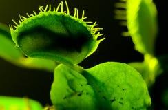 Armadilha da mosca de Venus Imagem de Stock Royalty Free