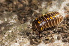 Armadillidium vulgare or pill bug Stock Photo