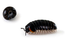 Armadillidium woodlouse - aka pill bug, roly poly, macro. Walking happily and in defensive curled-up mode Royalty Free Stock Image