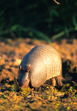 Armadillo. An armadillo searching for food with his snout Royalty Free Stock Photography