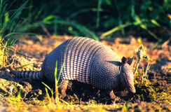 Armadillo. An armadillo walking through a muddy area looking for something to eat Royalty Free Stock Photography