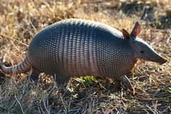 Armadillo Royalty Free Stock Photo