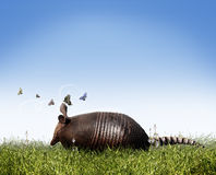Armadillo. An armadillo with an entourage of butterflies to guide the way scampers across an open field of grass.  Concept for a story about wildlife or Royalty Free Stock Photo