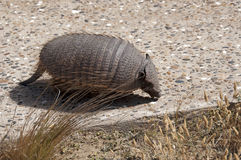 Armadillo. Close up shot of an armadillo in Patagonia - South America Stock Photo