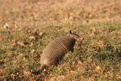 armadillo Obraz Royalty Free