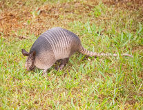 armadillo Royalty-vrije Stock Foto
