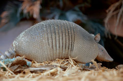 Armadillo. Searching for food at night Stock Image
