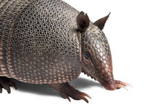 Armadillo. Mulita, Armadillo of six bands, on to white background stock photo