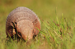 Armadillo, Argentina Stock Photography