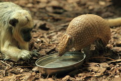 Armadillo and black howler monkey Stock Photo