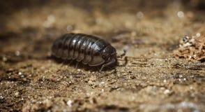 Armadillo Bug Stock Photos