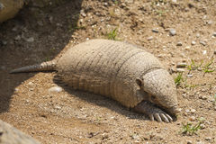 Armadillo. Close up on a armadillo leaving is lair Royalty Free Stock Photo