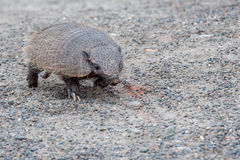 Armadillo close up portrait looking at you Stock Images