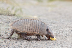 Armadillo close up portrait looking at you Stock Photo