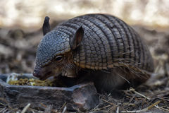 Armadillo. Closeup of an Armadillo searching the ground for food Stock Image