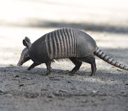 Armadillo Crossing The Road Stock Photo