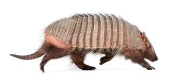 Armadillo - Dasypodidae - Cingulata Fotos de archivo libres de regalías