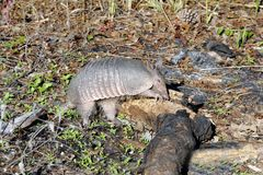 Armadillo Digging In Log Royalty Free Stock Photos