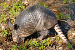 Armadillo Digging for insects. A Young Armadillo Digging in the Earth Looking for Insects Royalty Free Stock Photo