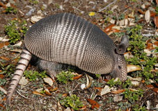 Armadillo Digging for insects. A Young Armadillo Digging in the Earth Looking for Insects royalty free stock photography