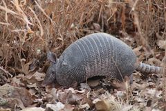 Armadillo Stock Photography