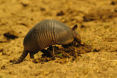 Armadillo Feeding. An armadillo digging through a cow pie for something to eat Stock Photos