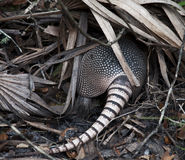 Armadillo in Flordia. Armadillo in a Florida State Park Royalty Free Stock Image
