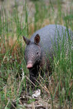 Armadillo foraging. An armadillo forages for food on the prarie Royalty Free Stock Photos