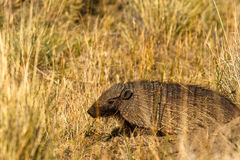 Armadillo in foro fotografia stock
