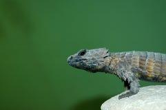 armadillo girdled jaszczurka Zdjęcie Royalty Free