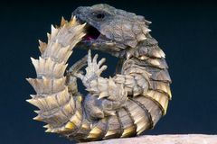 Armadillo girdled lizard / Cordylus cataphractus. The Armadillo girdled lizard has a unique way of defending itself. It will roll up in a spiny ball inside a Royalty Free Stock Images