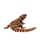 The armadillo girdled lizard on white Stock Photos