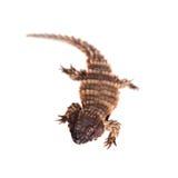 The armadillo girdled lizard on white Stock Images