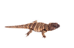The armadillo girdled lizard on white Royalty Free Stock Images
