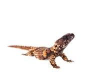 The armadillo girdled lizard on white Stock Photo