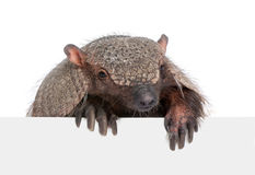 Armadillo going out from behind a blank panel Stock Photo