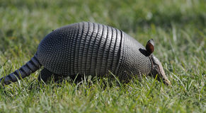 Armadillo In The Grass Stock Images