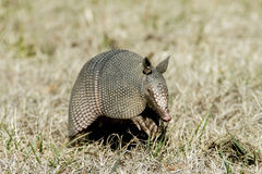 Armadillo in the Grass Royalty Free Stock Photography