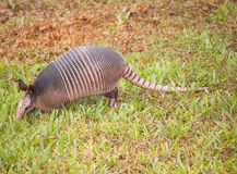 Armadillo In Grass Royalty Free Stock Photography