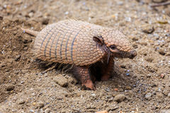 Armadillo. On loose ground Stock Images