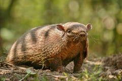 Armadillo nell'habitat della natura della foresta brasiliana Fotografia Stock