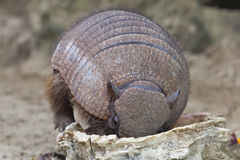 Armadillo portrait Stock Images