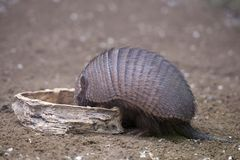 Armadillo portrait Stock Photos