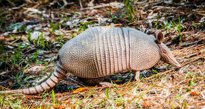 Armadillo Visit. This armadillo posed for me in my backyard Stock Photo