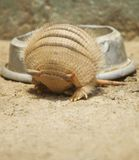 Armadillo rolling in Stock Images