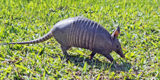 Armadillo searching for food in the field. SAO PAULO, SP, BRAZIL - JUNE 25, 2016 - Nine-banded armadillo, the most common of the armadillos, American mammal of Stock Photos
