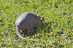 Armadillo searching for food in the field. SAO PAULO, SP, BRAZIL - JUNE 25, 2016 - Nine-banded armadillo, the most common of the armadillos, American mammal of royalty free stock photos