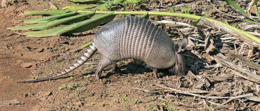 Armadillo searching for food in the field. SAO PAULO, SP, BRAZIL - JUNE 25, 2016 - Nine-banded armadillo, the most common of the armadillos, American mammal of Royalty Free Stock Image