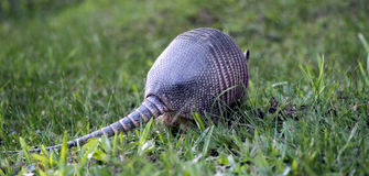 Armadillo searching for food in the field. SAO PAULO, SP, BRAZIL - JUNE 25, 2016 - Nine-banded armadillo, the most common of the armadillos, American mammal of stock photo